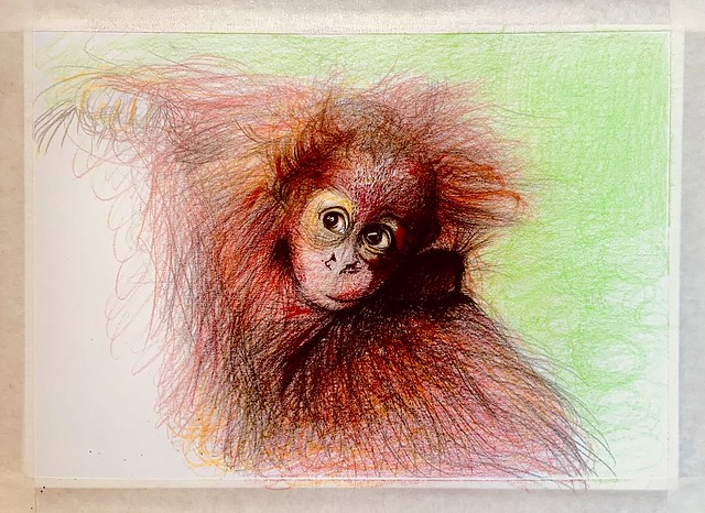 Young Orangutan . Coloured pencil drawing by jmsw on card. Just for Fun. Last stage.
