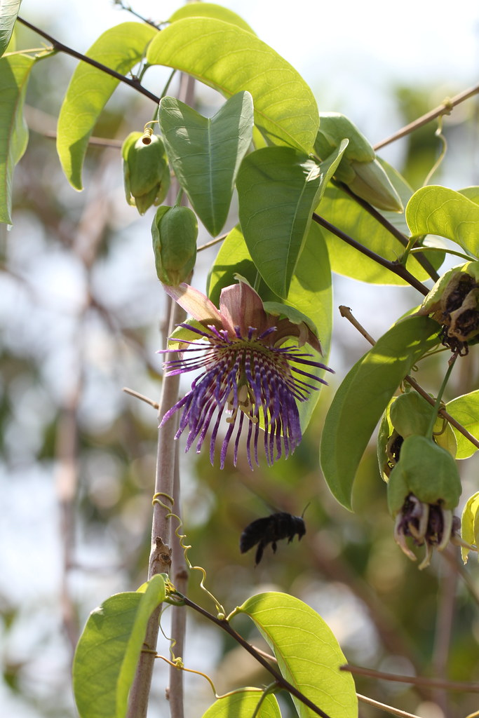 Passiflora laurifolia L.