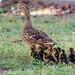 Mallard mother duck and ducklings