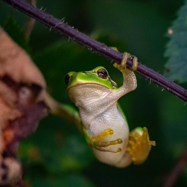 Resting tree frog