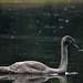 Juvenile mute swan portrait