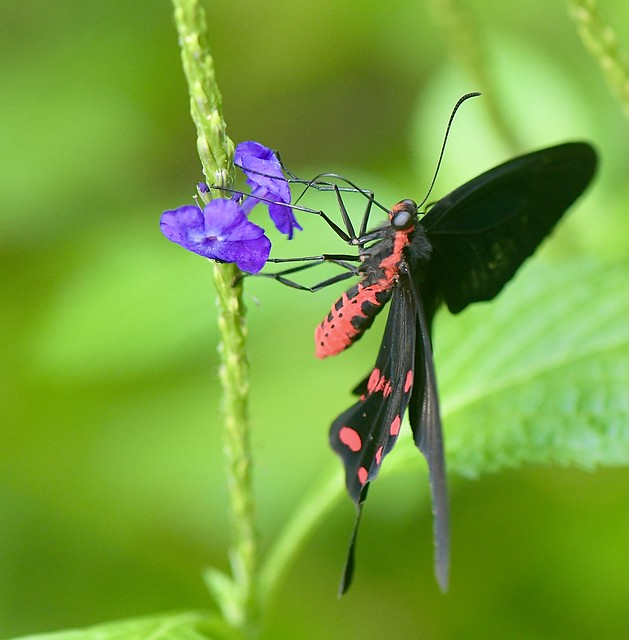 Scarlet Mormon (Papilio rumanzovia)