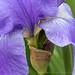 Purple Iris (I), 5.3.18