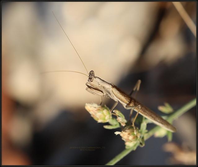 Ameles decolor (Charpentier, 1825), Grey Mantis, 8610 Fa, 19.VIII.2019. Mezulin 20190819 S 2926 CresBarkaOkolo_110,