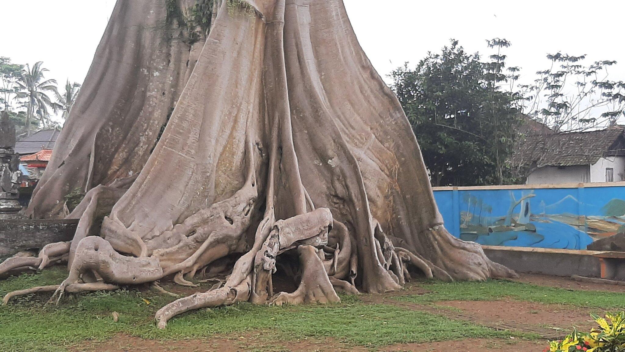 Ficus 51516798716_14c6e781ce_k