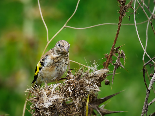 Young goldfinch as a self-supporter - Junger Stieglitz als Selbstversorger