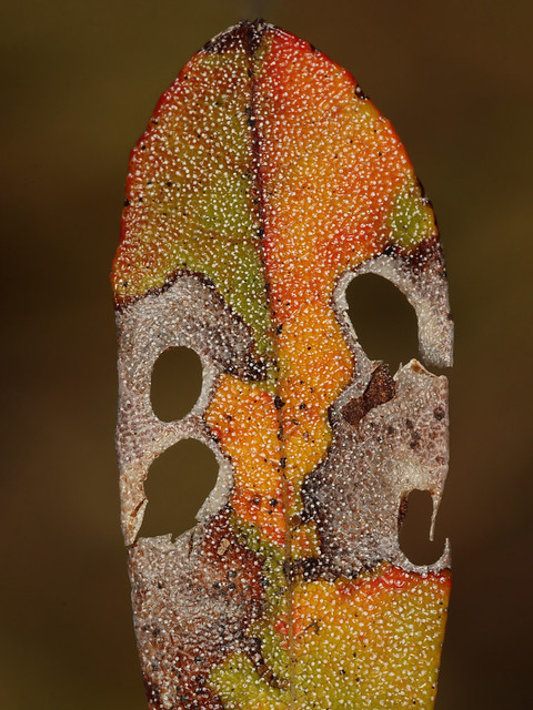 Coptodisca kalmiella