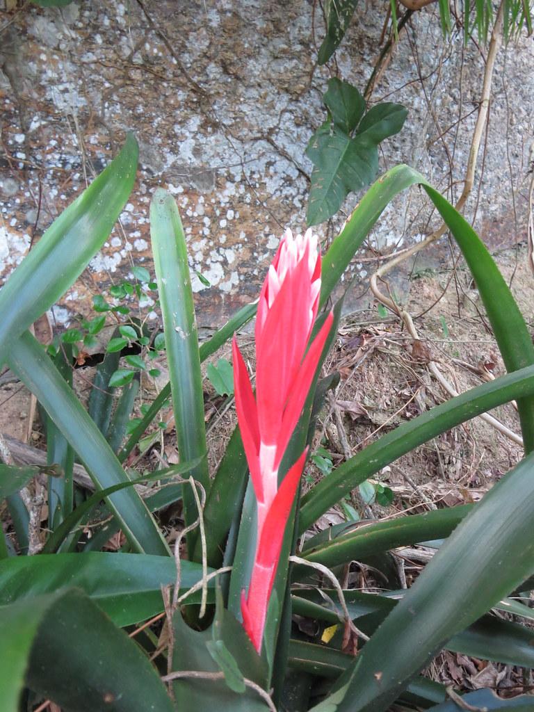 Billbergia pyramidalis (Sims) Lindl.