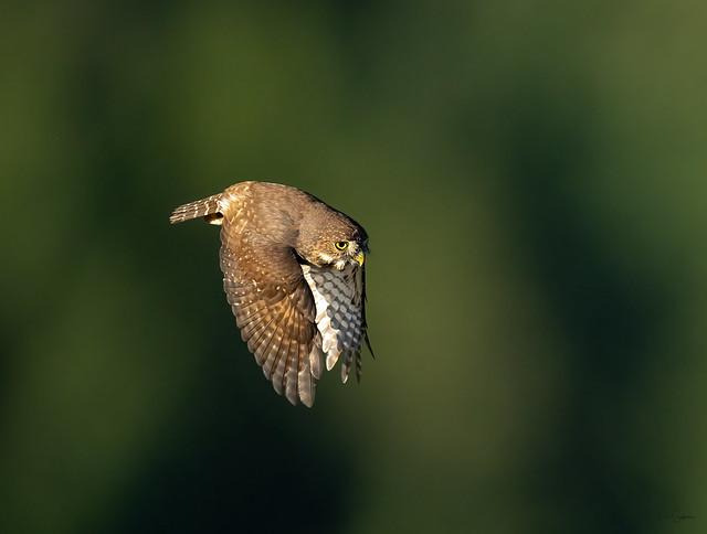 Norhtern Pygmy Owl