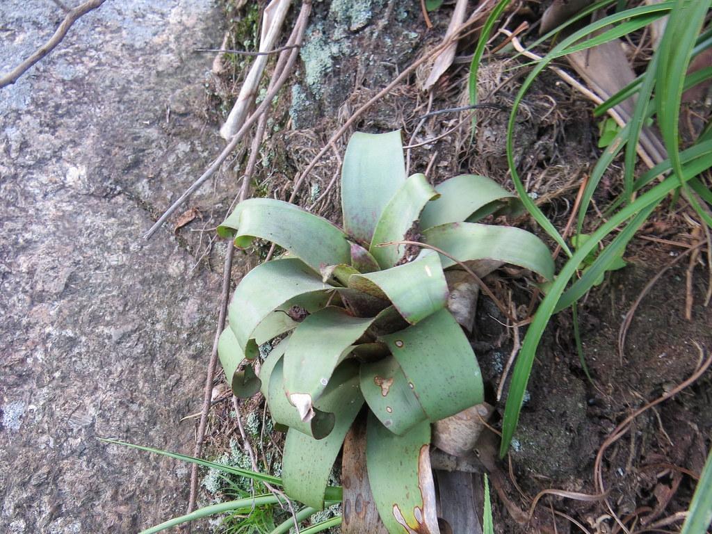 Vriesea botafogensis Mez
