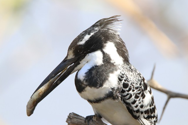 Pied Kingfisher     .....     male