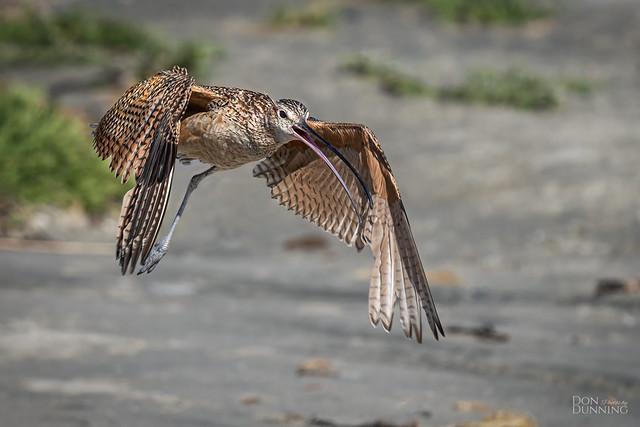 Long-billed Curlew (Numenius americanus)
