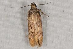 Chionides (?) sp. Moth