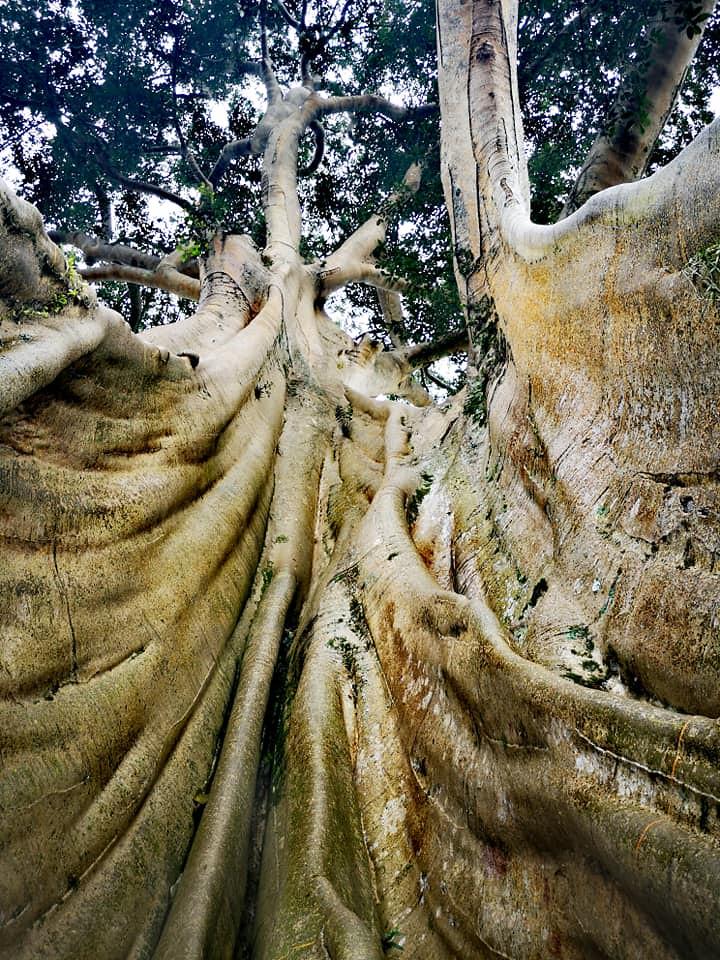Ficus 51517731460_955439bb34_b