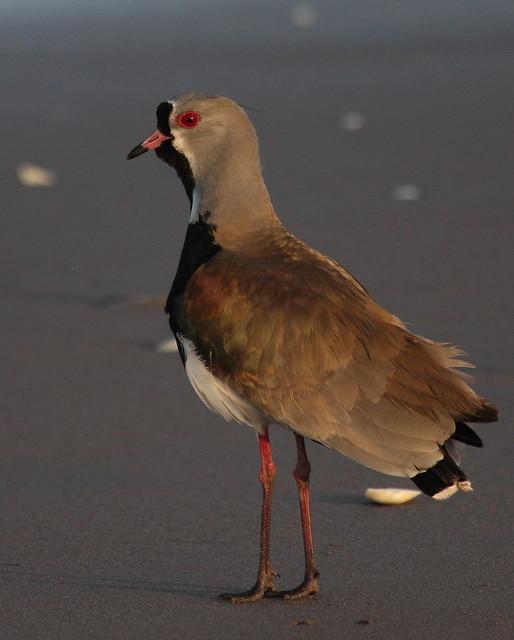 Southern Lapwing - Vanellus chilensis