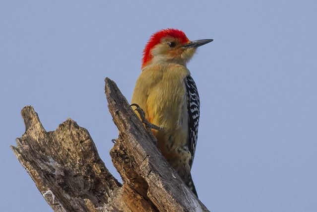 Red-bellied Woodpecker | Melanerpes carolinus