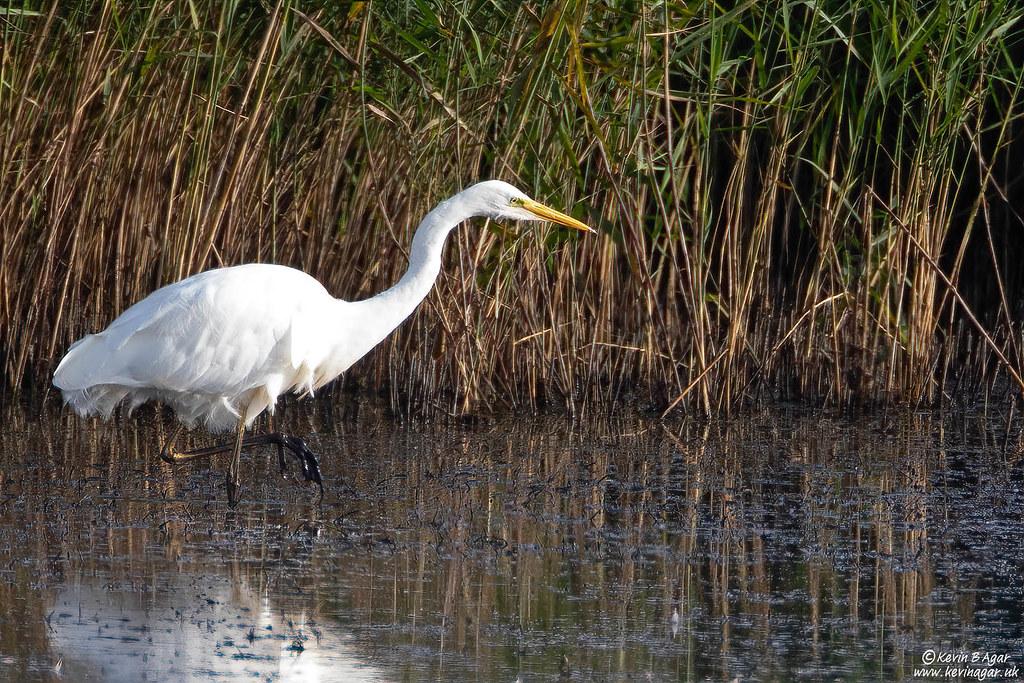 Great Egret, Ardea alba alba