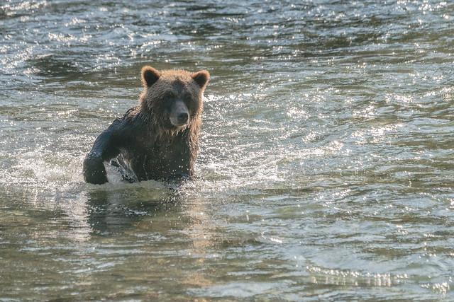 DSC03503 Grizzly Bear, North American Brown Bear, Ursus arctos.