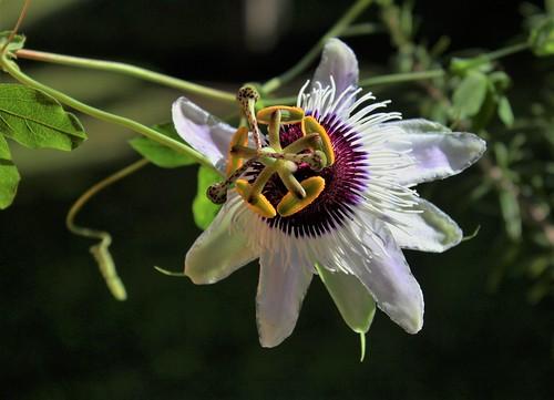 Passiflora ' Panda ' 51518269877_a553993c25