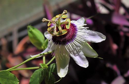 Passiflora ' Panda ' 51518274677_2f2ff4dfcb