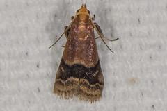 Broad-banded Eulogia Moth