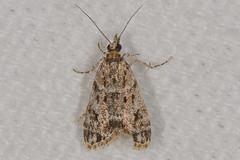 Scoparia sp. Moth