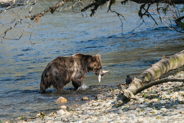 DSC03719 Grizzly Bear, North American Brown Bear, Ursus arctos.