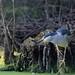 Nachtreiher adult / Night heron