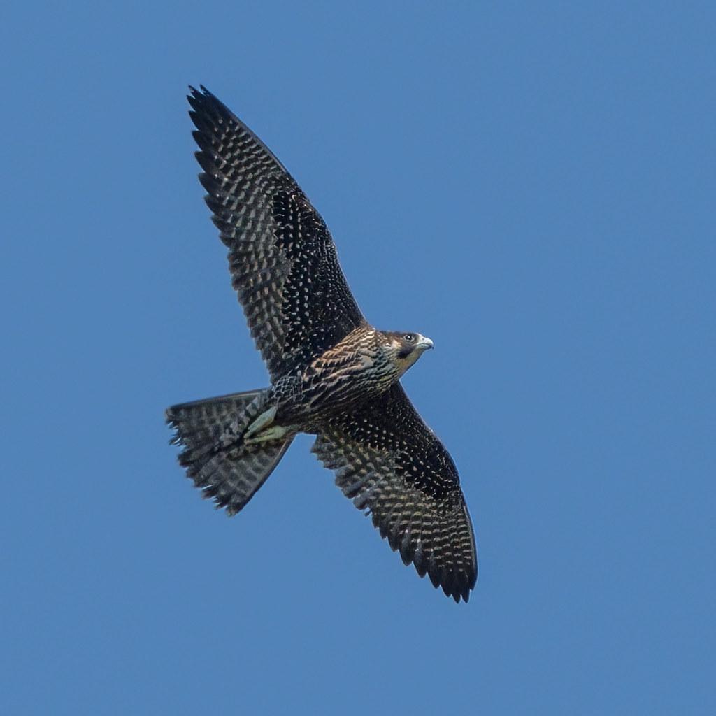 Peregrine Falcon (juv)