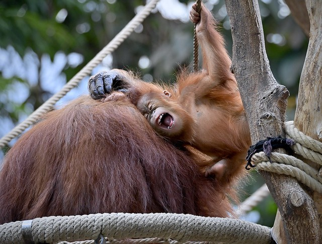 Happy Sumatra-Orang-Utan