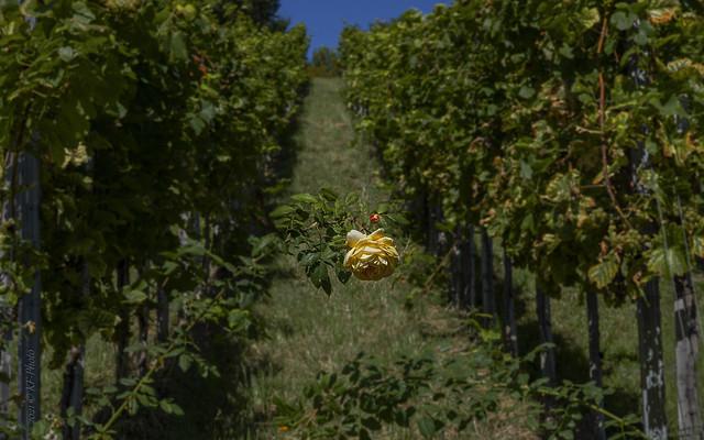 Yellow rose on vineyard