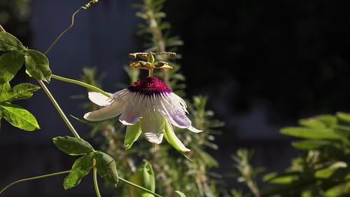 Passiflora ' Panda ' 51519085221_10b6344d7b