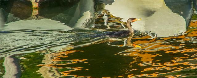 Sliding Cormorant