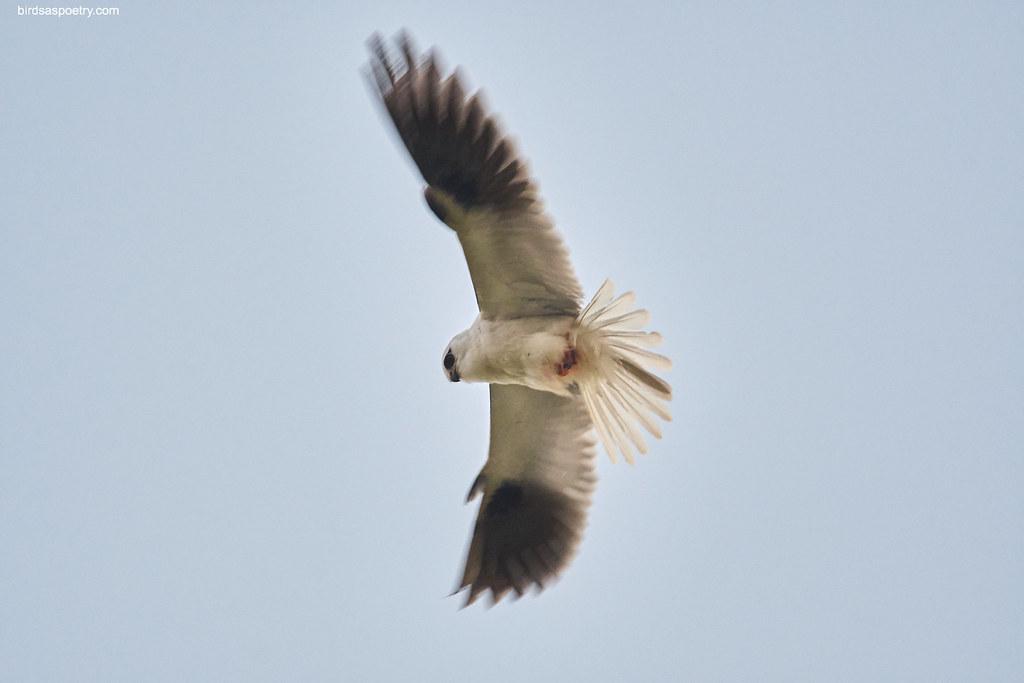 Black-shouldered Kite: Busy Morning