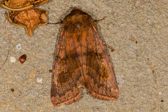 Bronzed Cutworm Moth