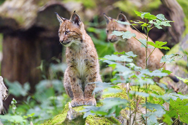 Young lynx posing well