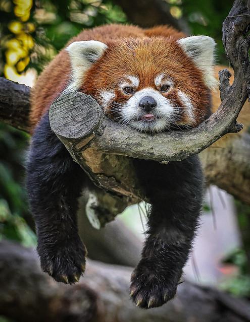 """Red Panda…….""""Hanging Ten"""""""