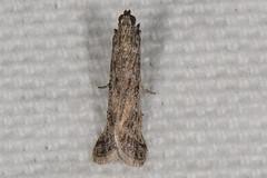 Phycitodes reliquella Moth