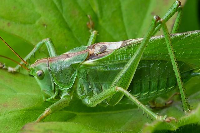 Tettigonia viridissima  -- Great Green Grasshopper --  La grande sauterelle verte.