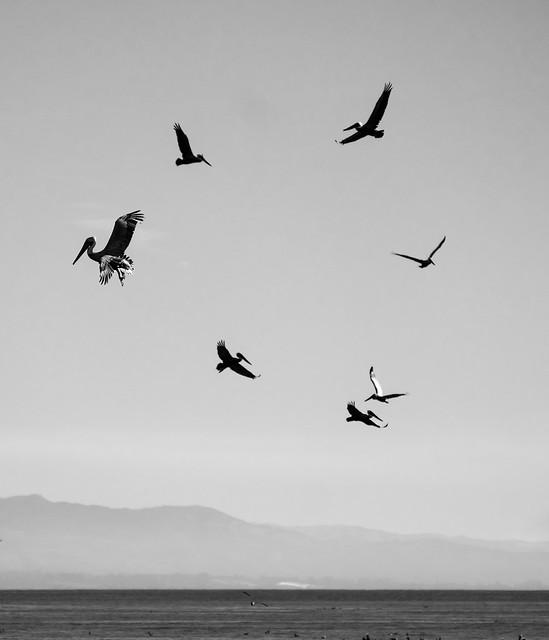 A circle of pelicans