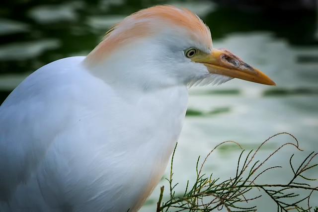 Egret - Egretta