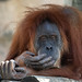 "<p><a href=""https://www.flickr.com/people/154721682@N04/"">Joseph Deems</a> posted a photo:</p>  <p><a href=""https://www.flickr.com/photos/154721682@N04/51519667781/"" title=""Orangutan (female)""><img src=""https://live.staticflickr.com/65535/51519667781_332951bf75_m.jpg"" width=""240"" height=""205"" alt=""Orangutan (female)"" /></a></p>  <p>Fort Worth Zoo</p>"