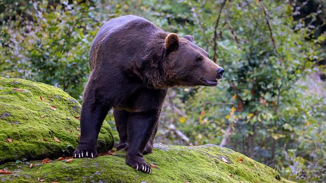 Brown bear (ursus arctos arctos) presents himself