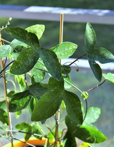 Passiflora ' Panda ' 51519796774_1f73afec9e