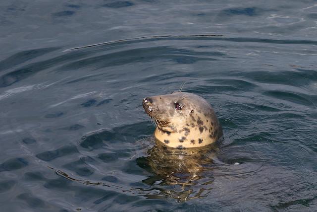 Atlantic Grey Seal, Mallaig
