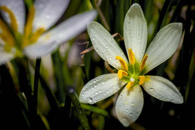 Zephyr Lily Study 1