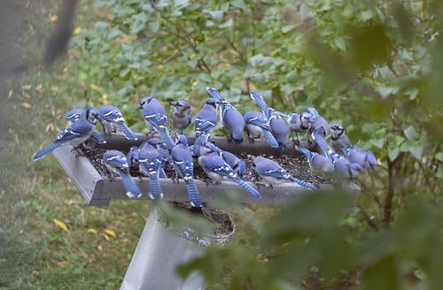 Blue Jays at feeder