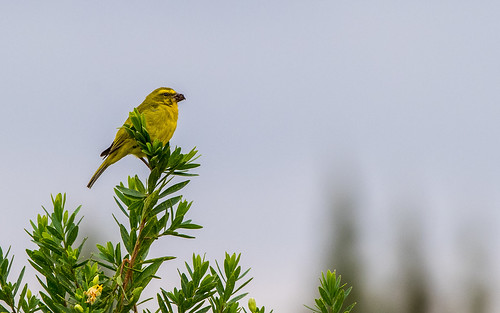 Brimstone canary - Crithagra sulphurata - Zwavelkanary