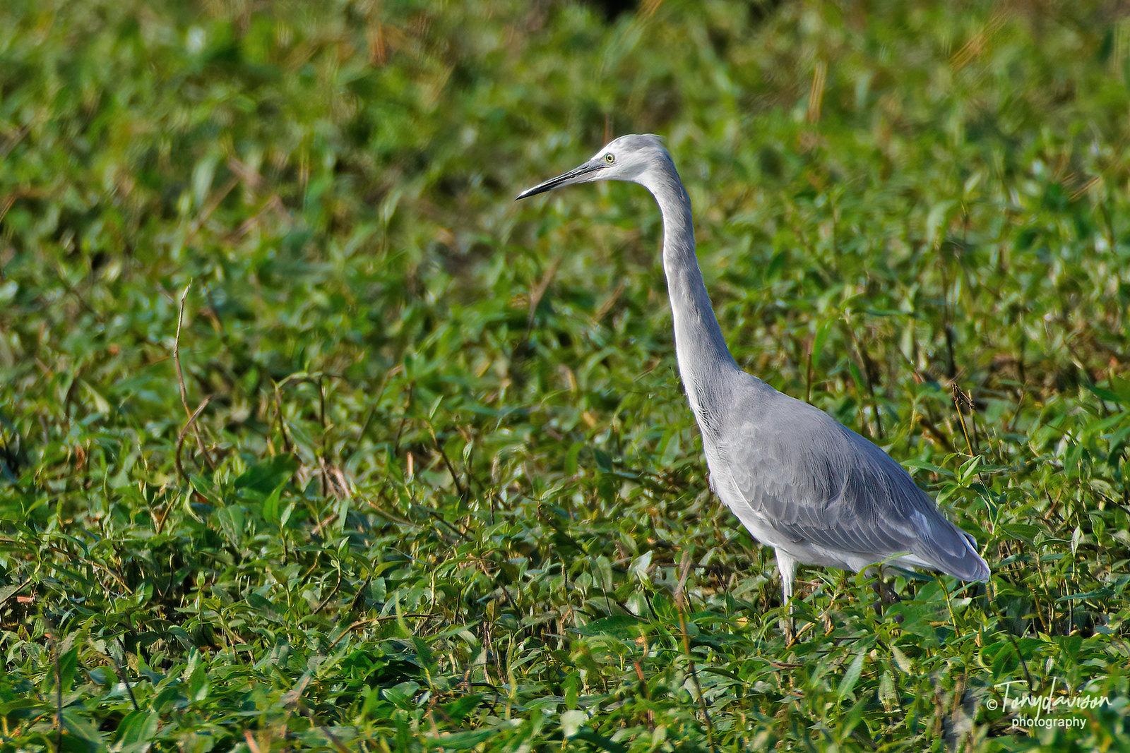 Little Egret - Blue Morph