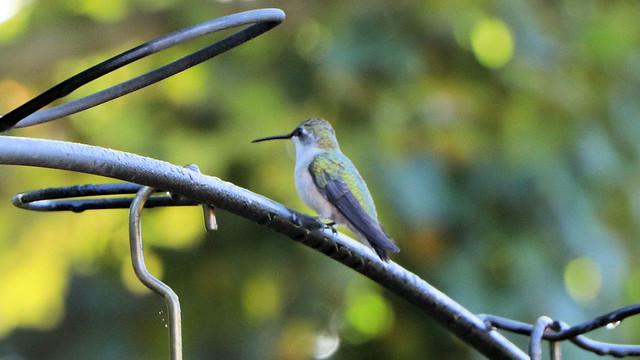 Autumn Hummingbird